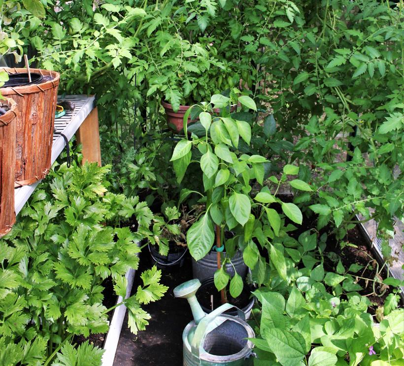 La serre regorge de fines herbes et de légumes. La sauge, le persil et le basilic côtoient les plants de tomates, de pois mange-tout, de céleris et d'oignons.