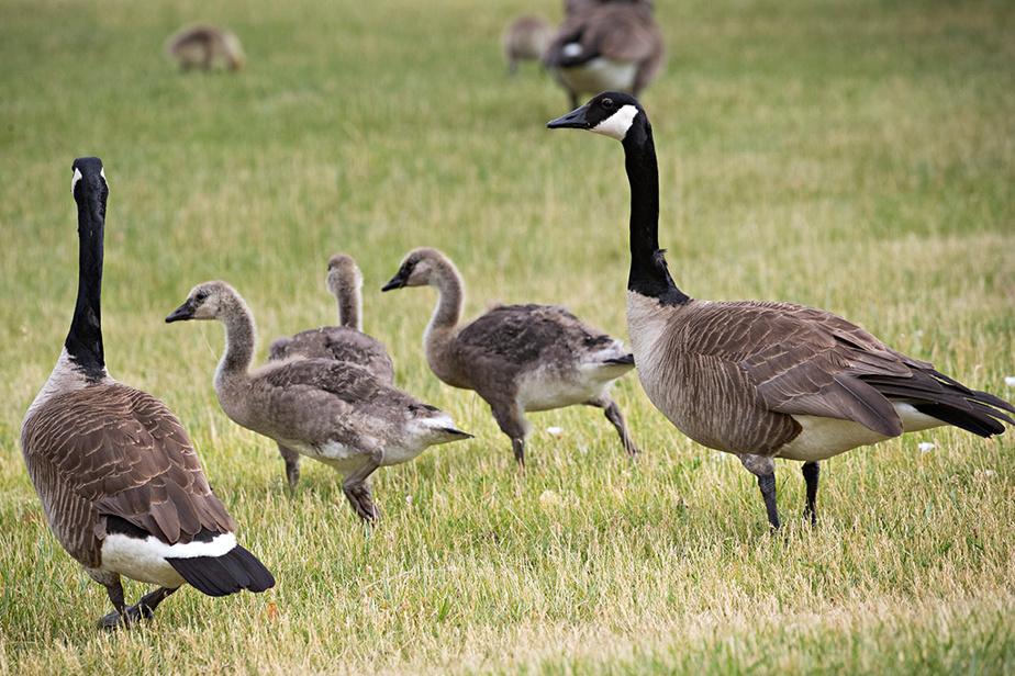 Des bernaches veillent sur leur portée au parc de la Merci, sur le bord de la rivière des Prairies, dans l'arrondissement montréalais d'Ahuntsic-Cartierville. Elles sont de plus en plus nombreuses chaque année à nicher dans l'île.