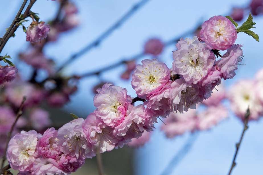 The almond tree, at the front of the property, is particularly beautiful when it is in bloom in spring.