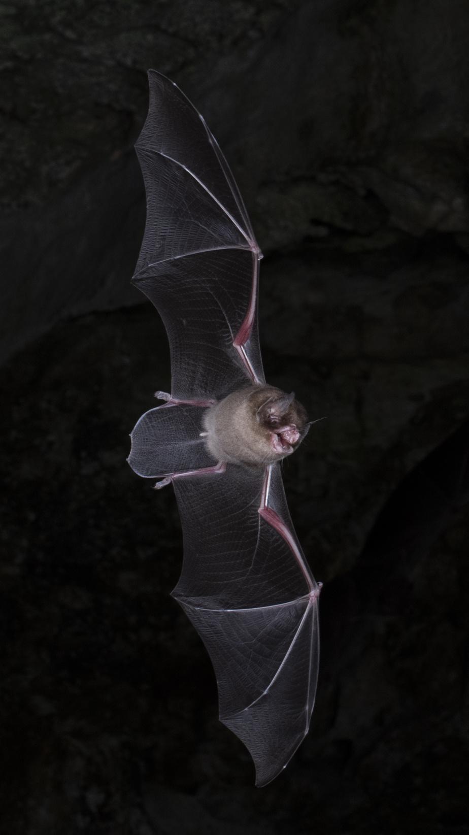 El murciélago Pteronotus parnellii, una especie que se encuentra en el Hogar lejos del hogar. Cueva