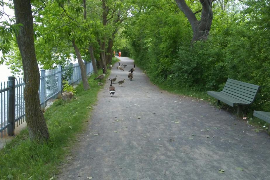 «Au parc-nature de l'Île-de-la-Visitation, se promener dans un décor magnifique et y côtoyer la vie animale, c'est doublement touchant. Ces bernaches qui ne sont pas effarouchées par lespassants, mais si polies en nous libérant le chemin tout en surveillant leurs petits, nous font vivre un moment tellement bienfaisant. C'est merveilleux! Et c'est ici dans notre quartier, aunord de Montréal!» — Michelle Rigot