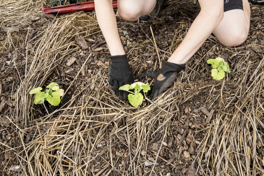 Ces plants de courges sont plantés à travers un engrais vert de seigle et de vesce velue. Les plantes ont été roulées avec un «rouleau crêpeur», puis occultées pendant un mois. Des copeaux ont été ajoutés juste avant la plantation.