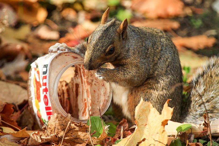 Un écureuil tente de manger les restes de tartinade au chocolat dans un pot en plastique.
