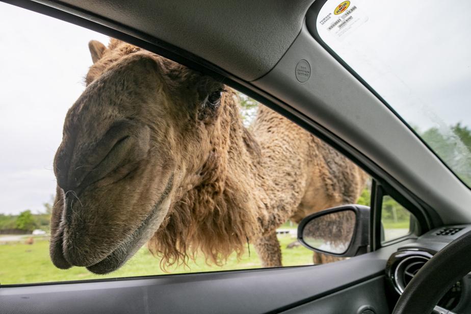 Au Parc Safari, une grande partie de la visite se fait en voiture. Les dromadaires aiment bien se faire nourrir et ne se gênent pas pour approcher les gens.