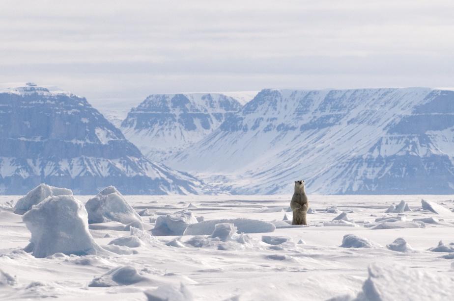 Un ours blanc, photographié en Arctique par Mario Cyr