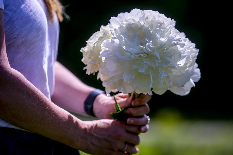 La pivoine, fleur-muse de Jennifer Brodeur, dont elle utilise l'extrait de racine dans sa gamme de produits Peoni