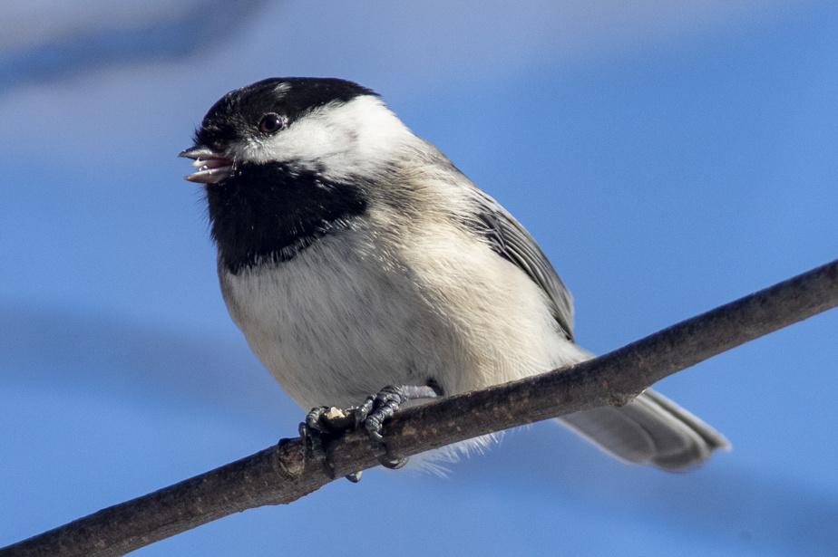 La mésange à tête noire est un petit oiseau particulièrement résistant, puisqu'elle passe l'hiver chez nous.