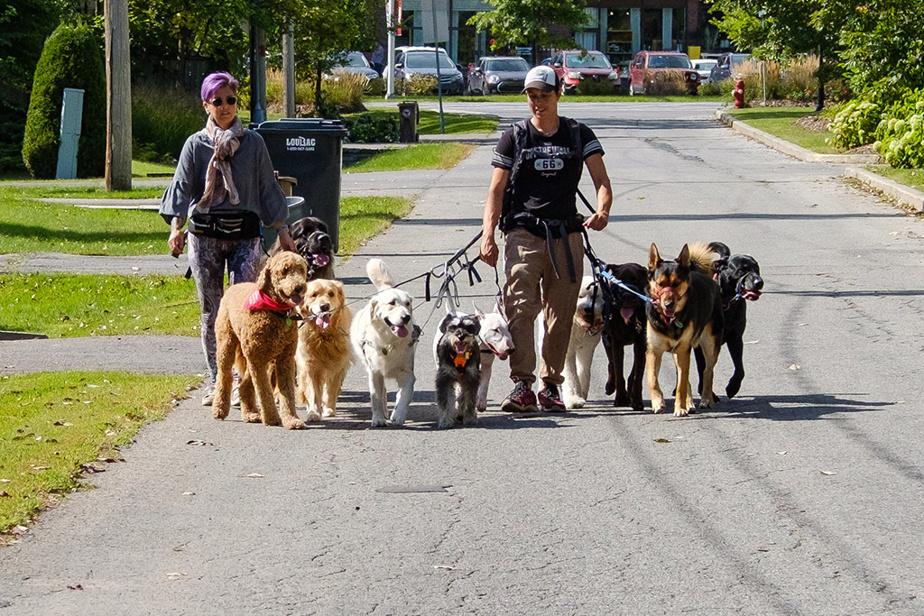 Nathalie Dubé et son amie Cynthia Gagnon promènent une dizaine de chiens dans les rues calmes de Rosemère.