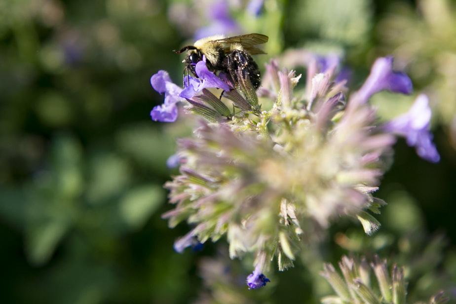 L'asclépiade: son nectar est essentiel à la survie des monarques et est apprécié des abeilles. L'asclépiade se présente dans des teintes de rose, orange et mauve, et fleurit de juillet à août.