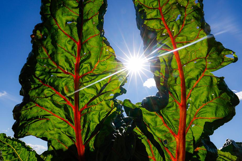 Deux feuilles de bette à carde sont prêtes à cueillir dans un champ de la Montérégie.