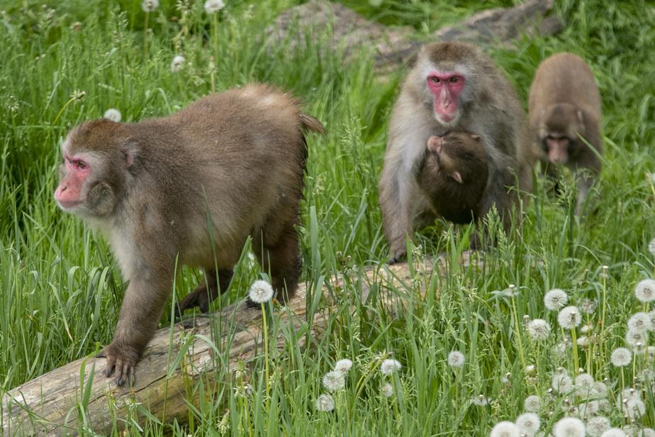 Séjour dans une Cool Box, les nouvelles mini maisons sur le site du parc Safari. Les invités des Cool Box peuvent assister au déjeuner des macaque japonais.