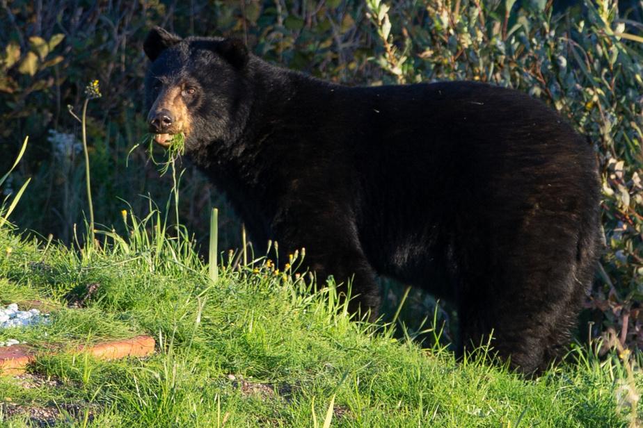 Un ours noir mange tranquillement de l'herbe en bordure de la route138 à Baie-Comeau.