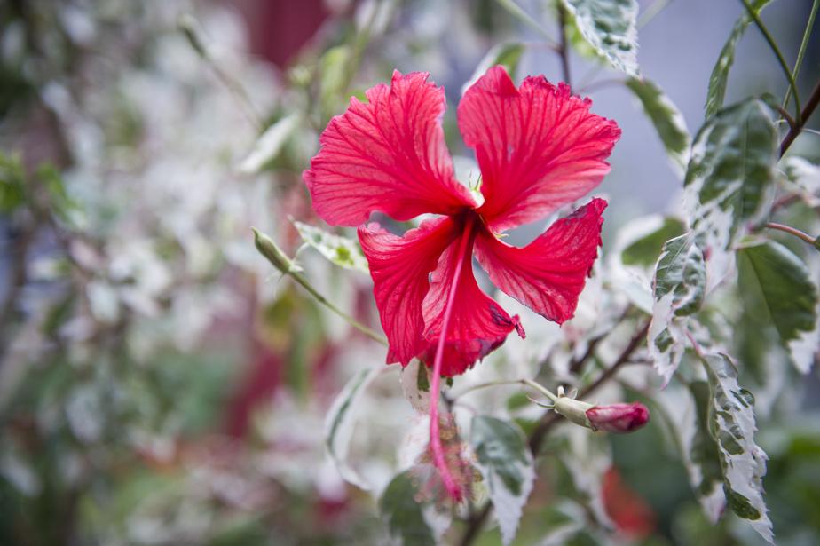 Les fleurs d'hibiscus agrémentent la terrasse en bois.