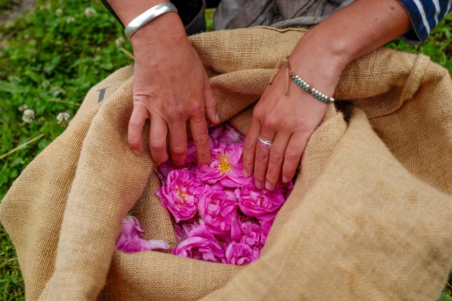 Un travailleur inspecte la qualité des fleurs cueillies au Domaine de Manon, à Grasse. La récolte doit être effectuée chaque jour, le matin généralement, pour obtenir des fleurs les plus parfumées possible.