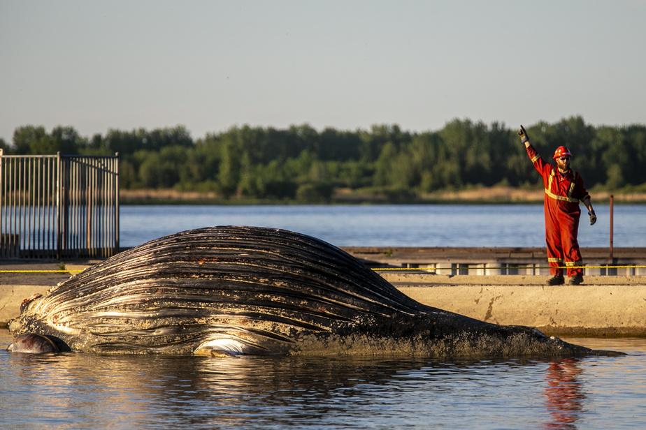 Dérivant dans le fleuve, la baleine a finalement été remorquée par un bateau du ministère canadien des Pêches et Océans jusqu'à Sorel, à 80 km à l'est de Montréal.