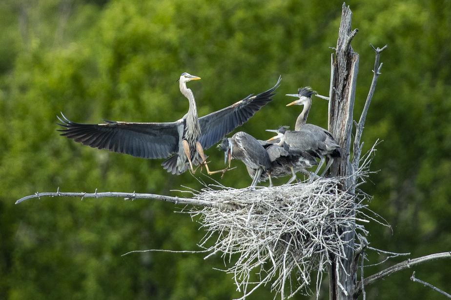 Un héron arrive au nid pour retrouver ses bébés.