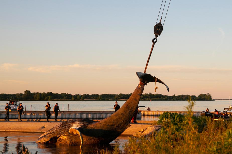 L'épopée inusitée de la baleine à bosse s'est terminée sur une triste note, après un séjour de plusieurs jours près du pont Jacques-Cartier, à Montréal.