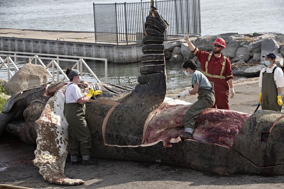 Une membre de l'équipe chevauche l'immense carcasse pour mieux travailler.