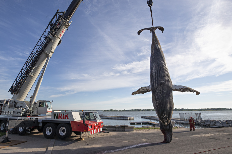 Une grue industrielle a été appelée à la rescousse pour déplacer la carcasse, longue de 10mètres et lourde de 17 tonnes.