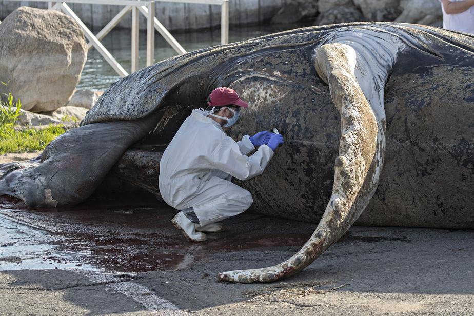 Un scientifique pratique une incision dans le ventre de la baleine afin d'en exposer les tissus.