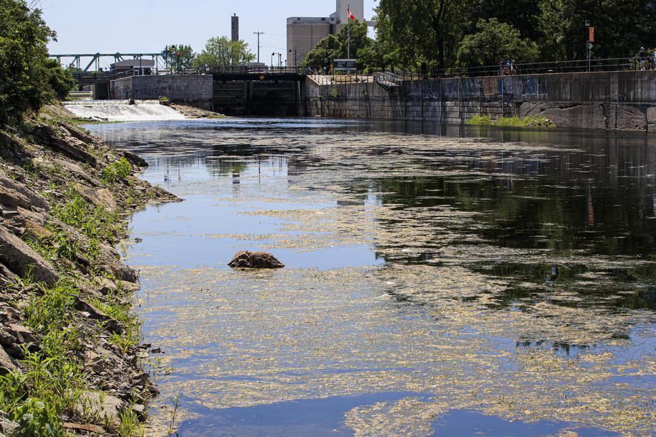 Ceux qui vivent à proximité du canal de Lachine ou en utilisent les berges pour courir ou faire du vélo n'ont pas manqué de noter que les algues avaient envahi le cours d'eau cette année.