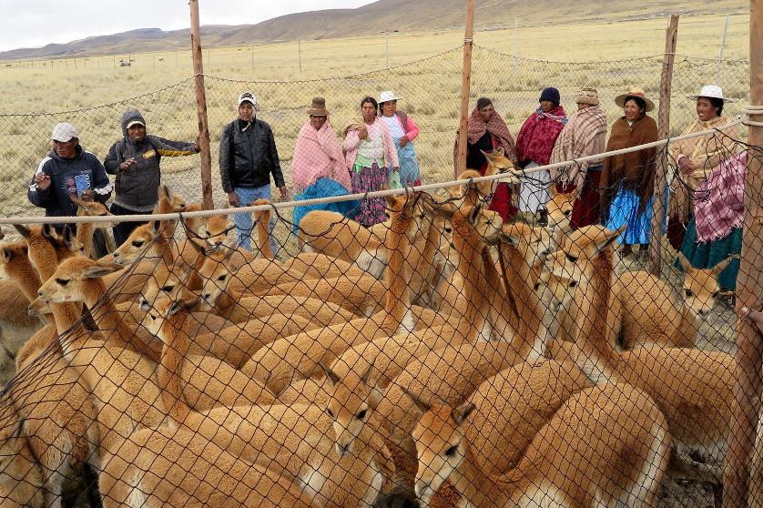 Capture des vigognes sauvages pour en récolter la laine, par les Aymaras au Pérou.