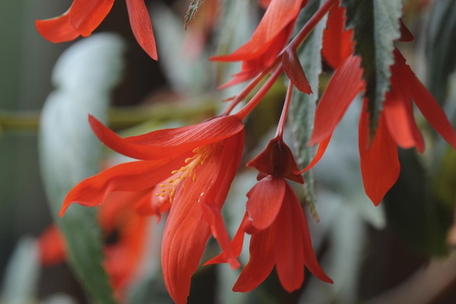 Le bégonia de Bolivie entre en dormance en automne. Il se multiplie et s'entretient comme le bégonia tubéreux.