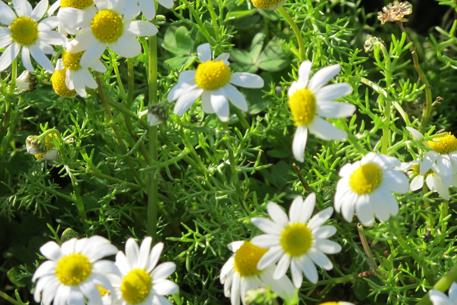 Chamomile (Matricaria recutita): beautiful dried or fresh, it also makes precious soothing infusions.