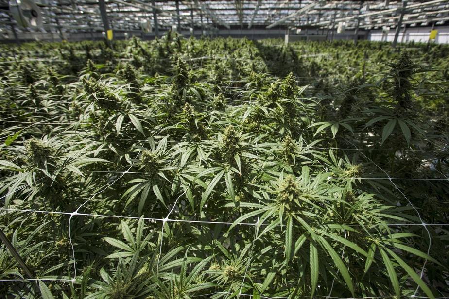 CannTrust détruira pour 77 millions $ de plantes et produits