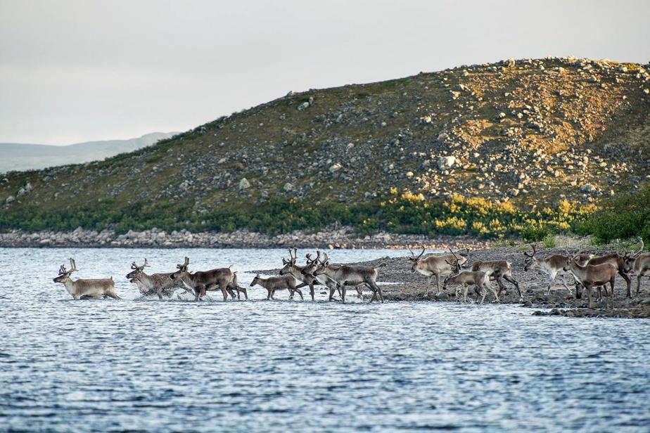 Le campement d'été des Innus dans le Mushuau-nipi se trouve près d'un détroit de la rivière George, que traversent les troupeaux de caribous.