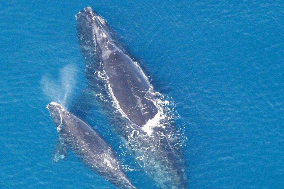 Μια τέλεια φάλαινα με το μοσχάρι του στον κόλπο του St. Lawrence