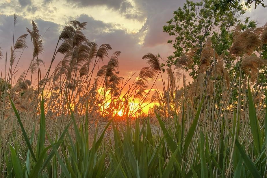 Il y a les rats des fleuves et les rats des champs. À Terrebonne, dans le secteur Lachenaie, les herbes folles participent au spectacle.