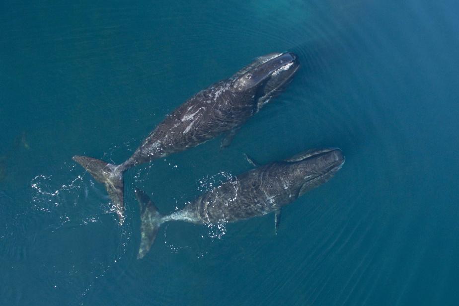 Φάλαινα φαλαινών με μοσχάρι στη Νούναβουτ