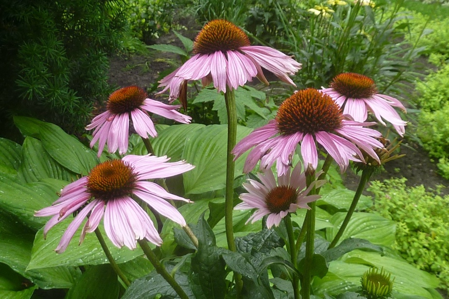 Echinacea (Echinacea purpurea): easy to flower, interesting for its medicinal properties, it spreads in the garden over the years.