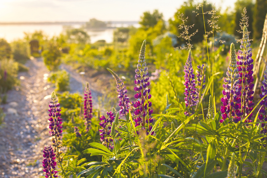 Lupine (Lupinus polyphyllus): for its spiky bloom and peppery smell