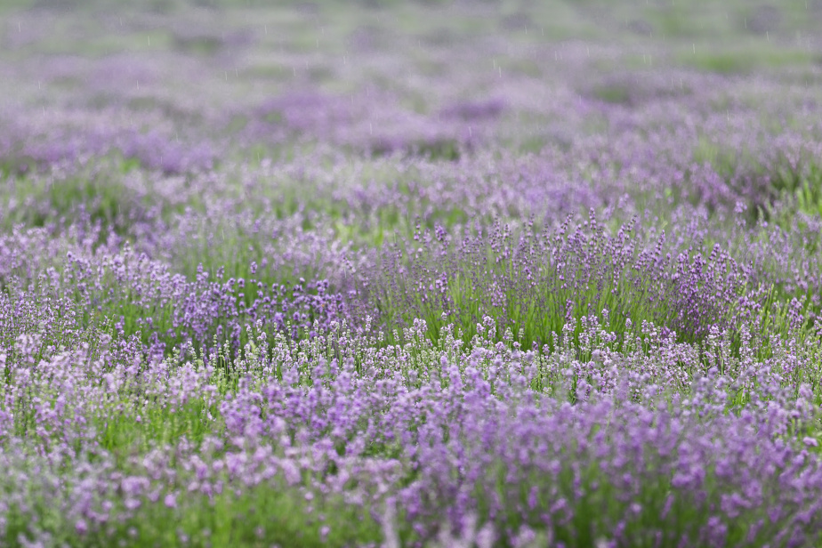 Lavender (L. angustifolia, syn L. officinalis): abundant, easy to grow and so versatile, in addition to attracting pollinators.