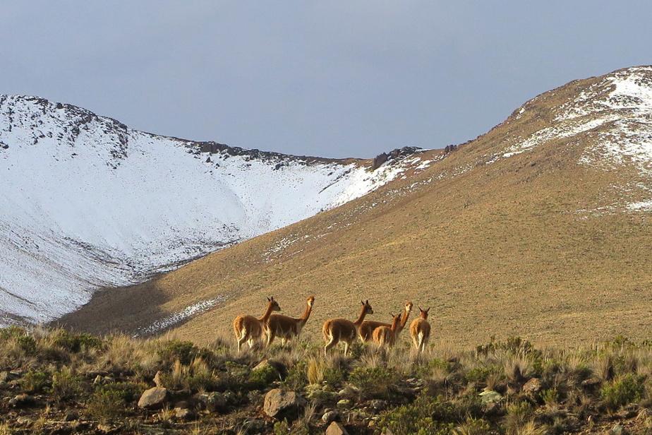 Un troupeau de vigognes, des camélidés sauvages des Andes