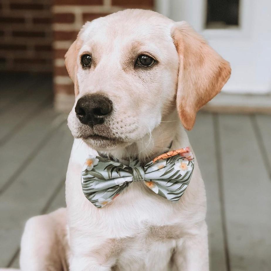 Le chien Colt arbore un nœud papillon qui lui sied à merveille! Beaucoup de couleurs, très éclatantes, sont offertes chez Pilouf.