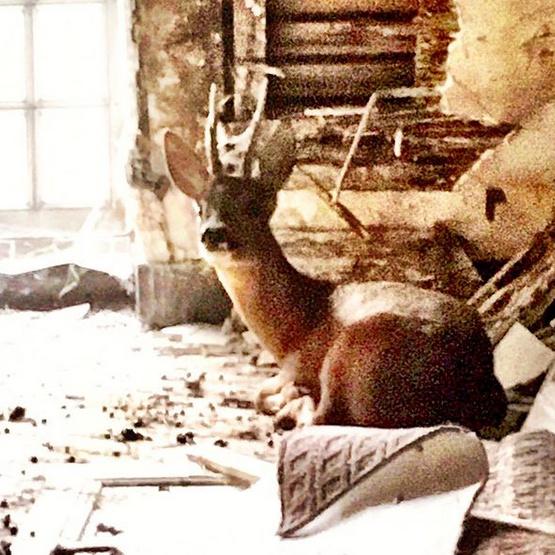 Un cerf squattait le grenier du château.