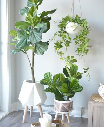 Deux plantes ficuslyrata artificielles de tailles différentes (130$ et 90$) sont mises en valeur par des cache-pots sur pattes de hauteurs variées (120$ et 60$). Un feuillage mixte artificiel dans un cache-pot suspendu (160$) complète le décor, composé par DécorsVéronneau.