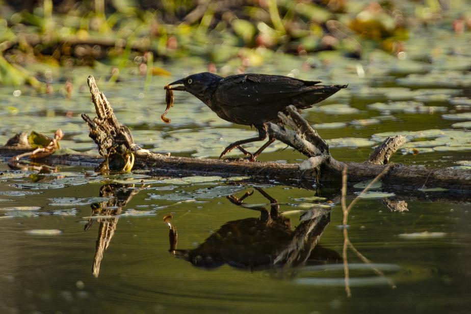 Un oiseau vient d'attraper une bestiole dans les marécages.