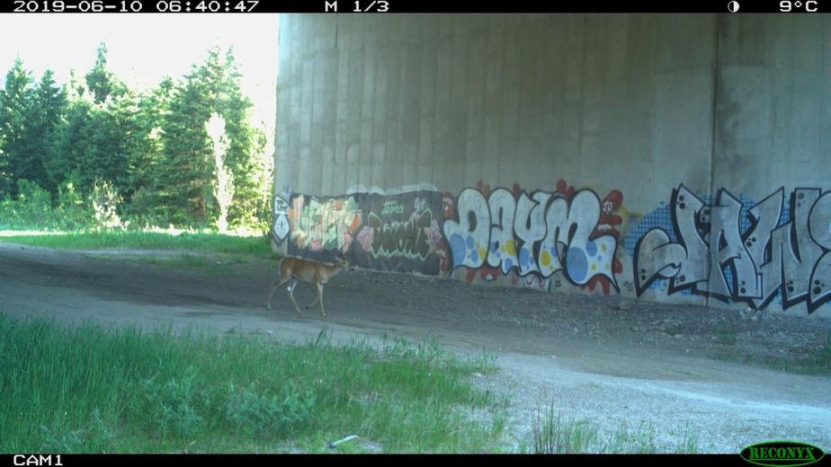 Une caméra automatique croque un cerf de Virgine alors qu'il emprunte le passage faunique Ivry.