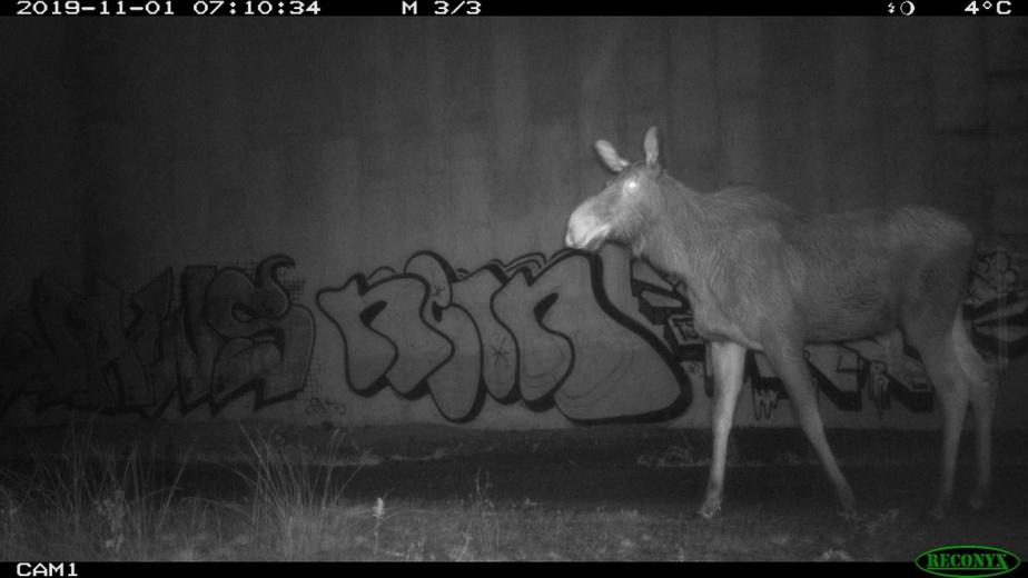 Un orignal capté par une caméra automatique dans le passage faunique Ivry