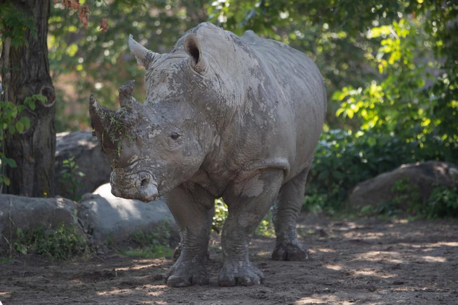 Un rhinocéros trouve un peu d'ombre pour se rafraîchir.