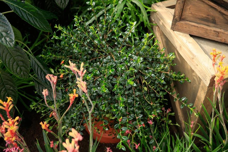 Faire en sorte que les plantes fleurissent au bon moment représente un énorme défi. À temps pour l'exposition, cette plante sera garnie de fleurs aux allures de petits poissons rouges.