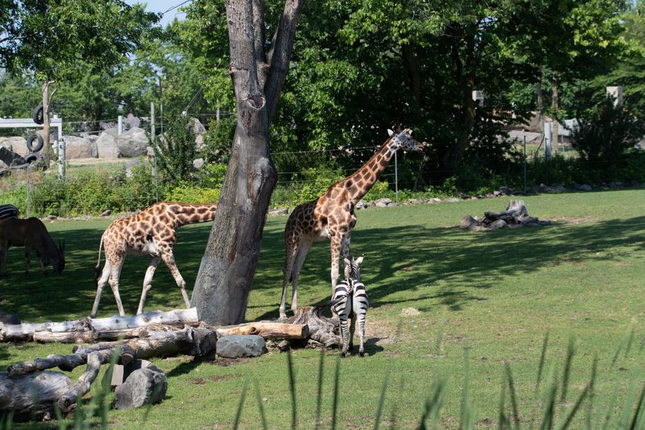 On peut prendre son temps pour admirer et observer les animaux, comme ici les girafes et les zèbres.