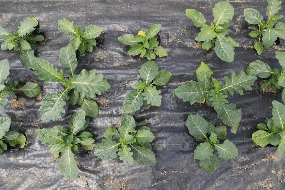 Voici le légume africain préféré d'Edem Amegbo: l'épinard, appelé gboma au Togo. «J'en mets dans les paniers de légumes biologiques», dit le maraîcher, qui compte sur une clientèle abonnée à des livraisons hebdomadaires.