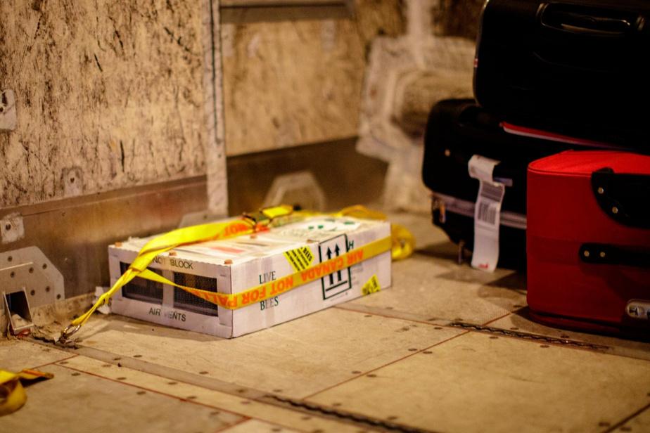 Cette boîte contient 320reines destinées à un client de Charlottetown. Le colis de deux kilos est fixé dans la soute à bagages parmi les valises des passagers d'un avionCRJ.