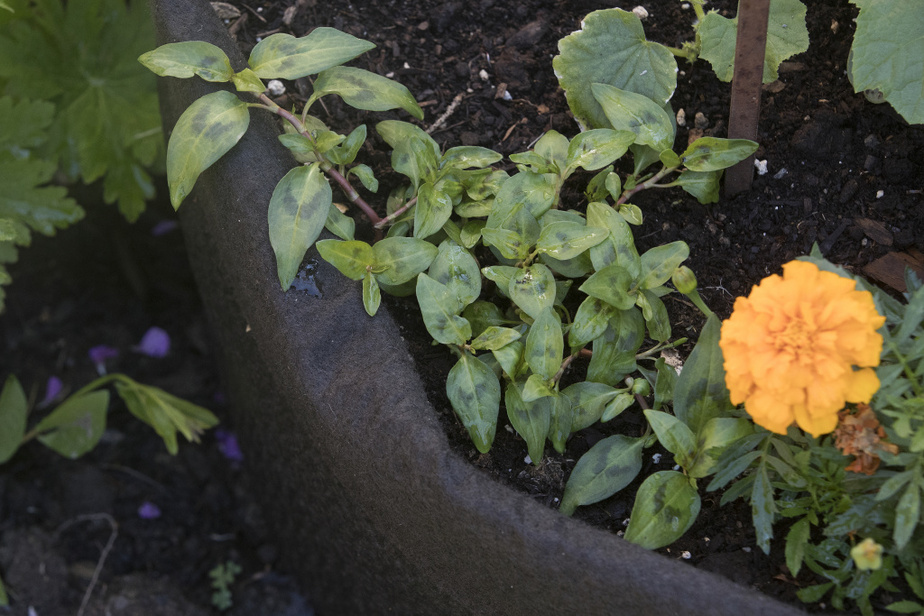Un plant de coriandre vietnamienne côtoie des tagettes, en bon compagnonnage!