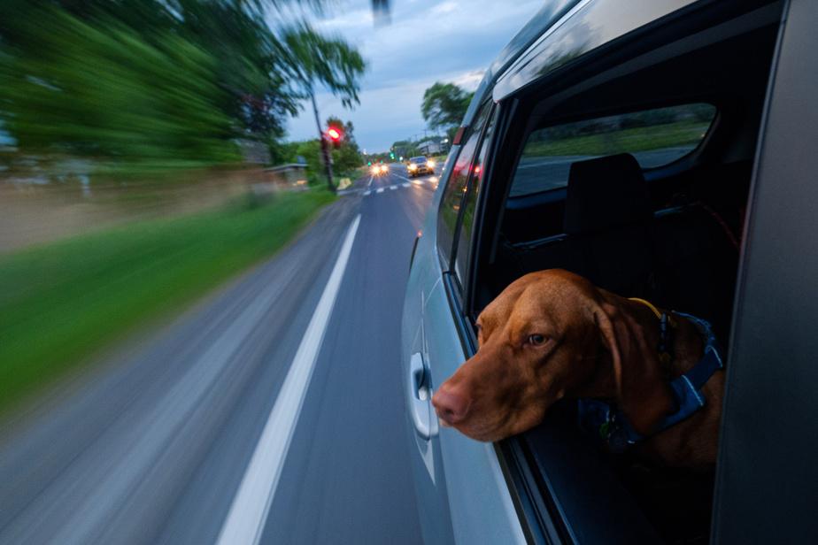 Henri, qui adore les promenades en voiture… à basse vitesse, rassurez-vous.